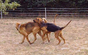 bloodhound playing